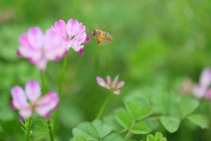 ミツバチとコスモスの画像